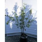 レモンの木 マイヤーレモン 約1.4m 現品発送 特大株 植木苗木 現品発送 檸檬の木 観葉植物や鉢植えに 果樹 送料無料
