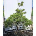 ジャバラ松 約170cm 超特大株 現品発送 一点物 特大植木苗木 盆栽仕立て 班入り松 シンボルツリー 送料無料