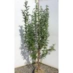 ブルーベリー 苗 ブルーシャワー 大きな苗木 株立ち 約1.5m 植木苗木 ラビットアイ系