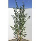 大きなブルーベリー 苗 フェスティバル 株立ち 約2m 植木苗木 ラビットアイ系