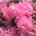 サツキ・シャクナゲ好きにお勧めなツツジ『春一番』です!