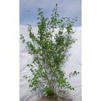 ジューンベリーの木 株立ち 約2.5m 3〜6本株 特大サイズ ブルーベリーの様な果実