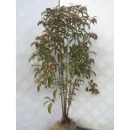 常緑ヤマボウシ ホンコンエンシス 株立ち苗 約120cm