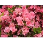 久留米ツツジ ピンク花 キリン 麒麟  約1.2m 株立ち 大株植木苗木
