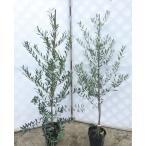 オリーブの木 苗 ミッション ベルダル 2本セット 約1.5m2本 大型苗木 観葉植物にも