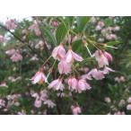 紅花エゴノキ ピンクチャイム 約2m 希少なピンク花
