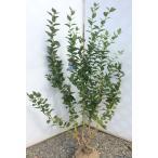 ブルーベリー 苗 シャープブルー 株立ち 約1.4m 植木苗木 サザンハイブッシュ系