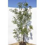 どんぐりの木 シラカシ 株立ち 約2m 美樹形株