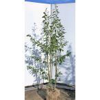 ソヨゴの木 株立ち 約2m メス株 常緑樹