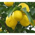大きな柚子の木 本ユズの木 約2m 大株植木苗木 送料無料本柚子 木頭ユズ 鬼頭柚子
