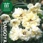 モッコウバラ(木香薔薇) 八重咲き黄花 12cmポリポット苗