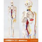 人骨模型 血管と心臓付ガイコツ85cm 人体模型 JK-3885