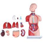人体模型GX-207 お腹も背中も見える人体模型45cm 17パーツ取り外し可 JK-5278Y