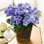 父の日 ギフト プレゼント アジサイ 「フェアリーアイ」 鉢植え 生花 鉢花 花 ブルー あじさい 紫陽花 FP3440