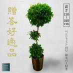 観葉植物 お祝い ベンジャミン ベンジャミナ 10号 ギフト バスケット鉢カバー付き 開店祝い インテリア グリーン