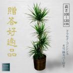 観葉植物 ドラセナ コンシンネ お祝い ギフト 8号 鉢カバー付き 開店祝い インテリア グリーン