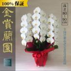 胡蝶蘭 お祝い 大輪 白 3本立ち33輪以上 開業祝い 開店祝い 新築祝い 結婚祝い