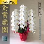 胡蝶蘭 お祝い 大輪 白 3本立ち36輪以上 開業祝い 開店祝い 就任祝い ビジネス