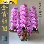 胡蝶蘭 お祝い 大輪 ピンク 5本立ち65輪以上(つぼみ含む) 高さ約100cm 選挙 周年 開業祝い 開店祝い 就任祝い 豪華