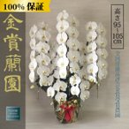 胡蝶蘭 お祝い 大輪 白 5本立ち65輪以上(つぼみ含む) 高さ約110cm 選挙 周年 開業祝い 開店祝い 就任祝い 豪華
