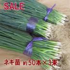 野菜・種/苗 ネギ苗 約50本×3束セットSALE