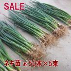 野菜・種/苗 ネギ苗 約50本×5束セットSALE