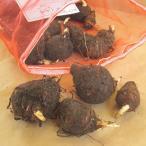 野菜・種/苗 ズイキ/からとり 里芋 種芋 1kg