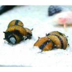 カラーイガカノコ貝 4匹+1匹おまけ