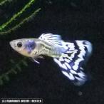 熱帯魚 観賞魚 国産グッピー アイボリーギャラクシーモザイク 1Pr