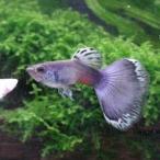 熱帯魚 国産グッピー モスコーブルー グッピー 1Pr