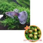 熱帯魚 【お買い得セット】 国産グッピー モスコーブルー 1Pr + カラー石巻貝ミックス 3匹のセット