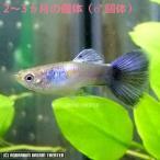 熱帯魚 国産グッピー プラチナロシアンパープル グッピー 1Pr 【2〜3ヶ月個体】【国産 グッピー】