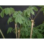 コシアブラ苗 全高30cm�50cm以内 5本