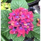 アジサイ シュロス バッカーバルト 4号 1鉢(4/15現在、花満開となりまして、以後、花終わりとなります。)