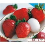 イチゴ 紅ほっぺ ポット苗 3株(入荷予定:2019年10月下旬頃)