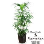 送料無料 観葉植物 シュロ竹(棕櫚竹)10号 鉢カバー付 立て札、メッセージカード無料 ラッピングも無料