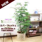 観葉植物 エバーフレッシュ10号 立て札、メッセージカード無料 ラッピングも無料