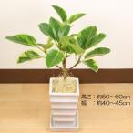 観葉植物 アルテシーマゴムの木Sサイズ 白陶器四角鉢 立て札、メッセージカード無料