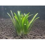 ピグミーチェーン サジダリア(5本) 無農薬 前景草 品質抜群の有名ファーム産