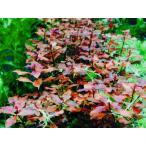 ルドウィジアspスーパーレッド(5本)◆ 無農薬 中景・後景草 品質抜群の有名ファーム産