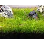 ショートヘアーグラス 1束(直径1cm)  国産無農薬 前景草 品質抜群の有名ファーム産