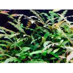 (水草) ハイグロフィラ・ピナティフィダ(ピンナティフィダ)10本(小さめ)活着する水草 無農薬