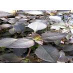 (水草)テンプルプラント(2本) 国産 ◆前景に最適◆