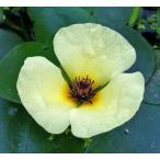 (水草) ウォーターポピー(ミズゲナシ) 黄色の花が咲きます!ビオトープにぴったり