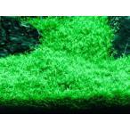 エラチネオリエンタリス(2×2cm) 無農薬 前景草 品質抜群の有名ファーム産