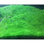 ニューラージパールグラス(25本) 国産無農薬 前景草 品質抜群の有名ファーム産