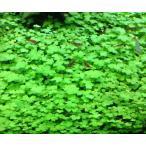 オーストラリアンノチドメ(5本) 無農薬 前景草 品質抜群の有名ファーム産