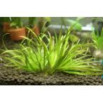 ブリクサ ショートリーフ(5本) 無農薬 前景草 品質抜群の有名ファーム産