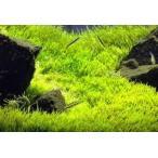 Yahoo!イイ水草市場お買い得3セット ウォーターローン(5×5cm)3セット ゆらゆら揺れる水中の芝 無農薬 前景草 品質抜群の有名ファーム産