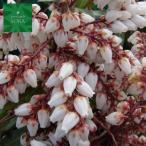 多くのつぼ状の白い花を咲かせます!!馬酔木・